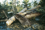 North American Beaver Gnawing on Branch to Make a Dam