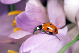 7-Spot Ladybird Crawling over Crocus
