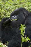 Mountain Gorilla Large Silverback Feeding on Vegetation