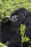 Mountain Gorilla Large Silverback Feeding on Vegetation