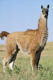 Llama Side View