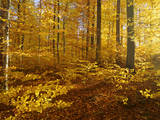 Autumn Forest Colourful Foliage in Beech Forest