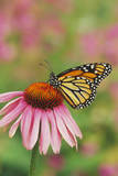 Milkweed Butterfly on Purple