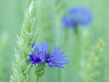 Cornflowers Growing Amidst Wheat Field