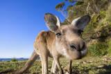 Eastern Grey Kangaroo Super Wide Angle Shot Of