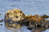 Sea Otter Resting in Kelp