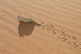 Namaqua Chameleon Leaving Trail in Sand