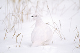 Rock Ptarmigan in Snow