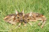 Roe Deer Fawns