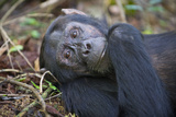 Chimpanzee Male Tropical Forest