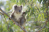 Koala Adult Sitting High Up in the Trees