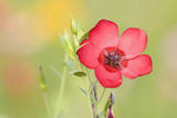 Scarlet Flax Single Blossom of a Scarlet Flax