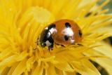 7-Spot Ladybird on Dandelion Flower