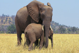 African Elephant Female  Cow with Young Calf