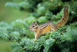 Yellow-Pine Chipmunk on Subalpine Fir Branch