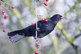 Common Blackbird Hanging from Hawthorn Bush