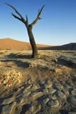 Namibia Dead Camelthorn Tree (Acacia Erioloba)