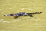 Platypus Adult Swimming in a River Collecting Food