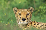 Cheetah Male  in Rainy Season with Green Vegatation