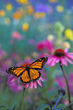 Milkweed Butterfly on Coneflower