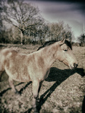 Suffolk Pony