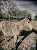 Suffolk Pony