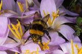 Common Bumblebee on Crocus Flower Collecting Pollen