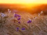 Field Flowers in Corn Field Barley Field