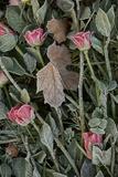 Gravestone Roses