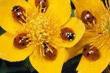 7-Spot Ladybirds on Marsh Marigold