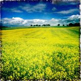 Yellow Field of Rape Seed