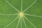Nasturtium Leaf in Close-Up