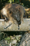American Beaver Gnawing on Branch  Close-Up