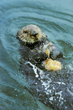 Sea Otter Using Tool to Crack Clam on Rock