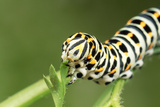 Swallowtail Butterfly Larva Feeding on Carrot Leaves