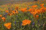 California Poppies and Yellow Goldfields