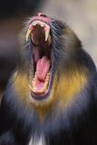 Mandrill Baboon Male Yawning