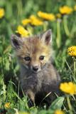 Red Fox Pup in Yellow Dandelions