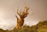 Bristlecone Pine Solitary Standing