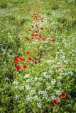 Poppies Field 2