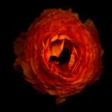 Ranunculus Orange 2