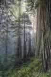 Precious Redwood Forest  California Coast