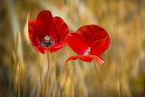 Twins Poppies