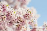 Usa  Washington Dc  Cherry Tree in Blossom