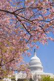 Cherry Blossoms in Front of Capitol Building in Washington DC