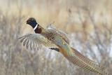 Glorious Pheasant Cock
