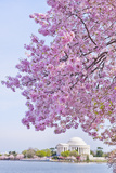 Usa  Washington Dc  Cherry Tree in Blossom with Jefferson Memorial in Background