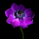 Purple Anemones Heart