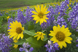 Balsamroot and Lupines  Dalles Mountain Ranch