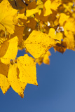 Usa  Colorado  Close-Up of Yellow Leaves against Blue Sky